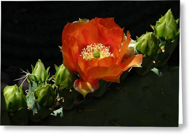 Cactus Southwest Cactus Flower Orange Wildflowers Nature Arizona Greeting Cards - Prickly Pear Flower with Buds Greeting Card by Cindy McDaniel
