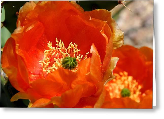 Cactus Flowers Greeting Cards - Prickly Pear in Bloom Greeting Card by Joe Kozlowski