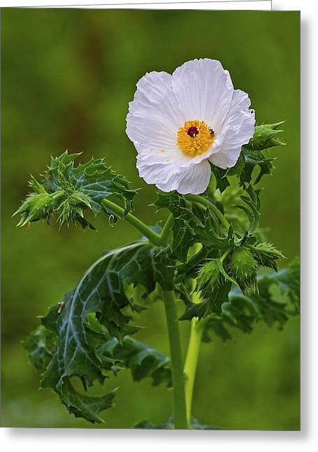 Light Greeting Cards - Prickly Poppy Greeting Card by Gary Holmes