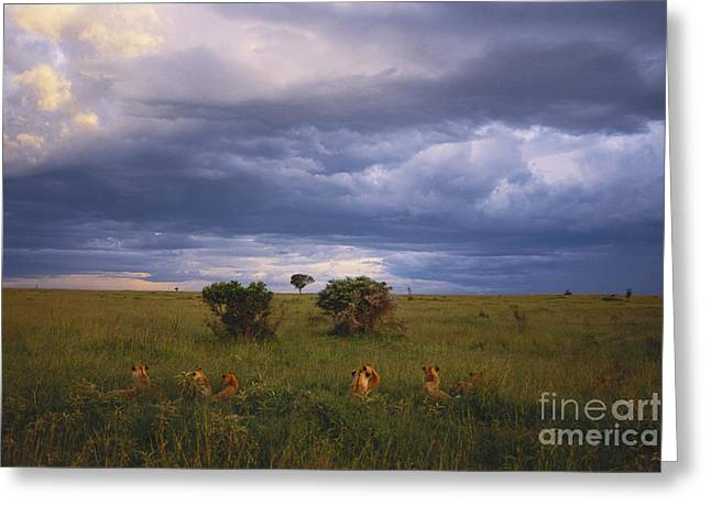 Pride Of Lions Greeting Card by Art Wolfe