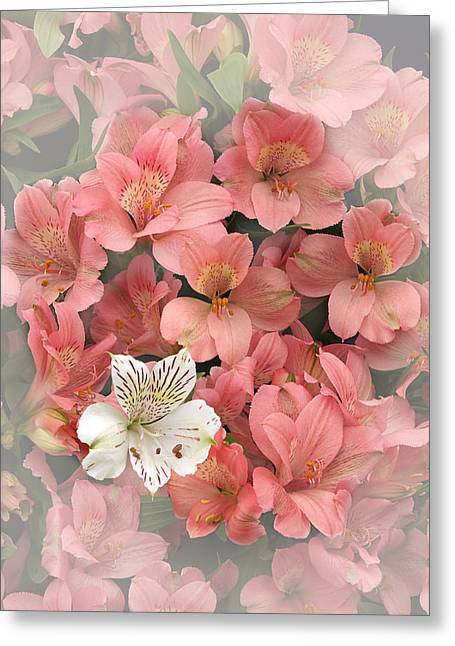 Alstroemeria Greeting Cards - Prima Donna - Alstroemeria Greeting Card by Gill Billington