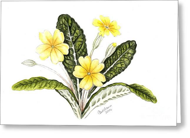 Primroses Drawings Greeting Cards - Primrose Greeting Card by Carol Doran