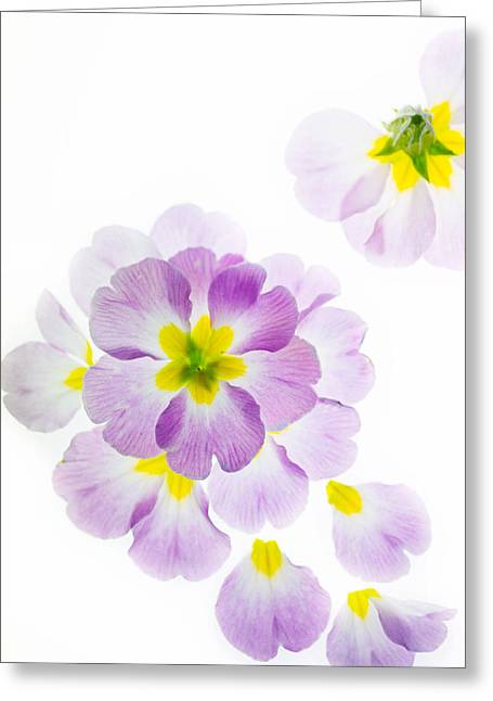 Pink Primroses Greeting Cards - Primrose Petals 2 Greeting Card by Rebecca Cozart