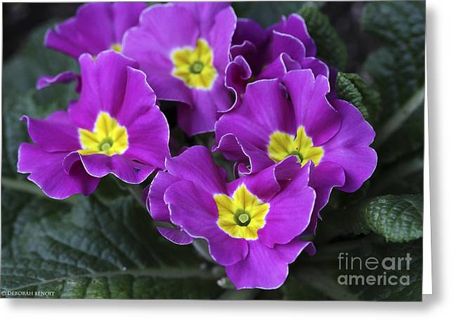 Primroses Greeting Cards - Primrose Purple Greeting Card by Deborah Benoit