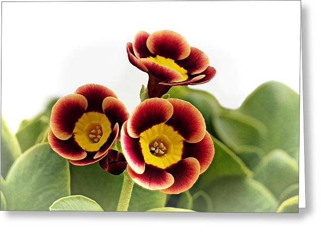 Best Sellers -  - Mahogany Red Greeting Cards - Primula auricula - Fiery Red 01 Greeting Card by Paul Gulliver