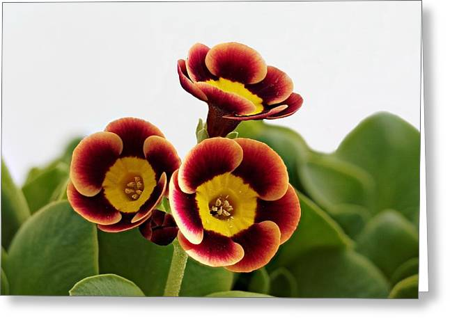 Best Sellers -  - Mahogany Red Greeting Cards - Primula auricula - Fiery Red 02 Greeting Card by Paul Gulliver