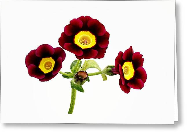 Mahogany Red Greeting Cards - Primula Auricula - Red Greeting Card by Paul Gulliver
