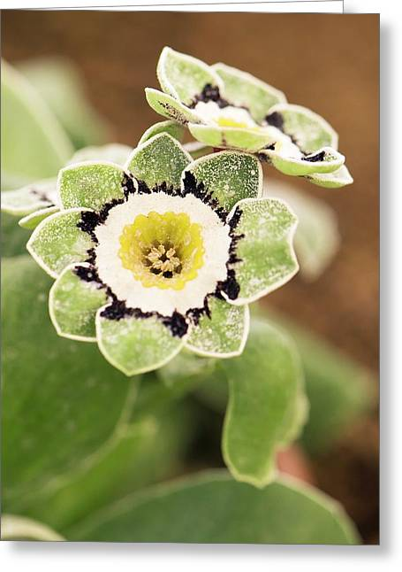 Primula Auricula 'beppi' Flowers Greeting Card by Adrian Thomas