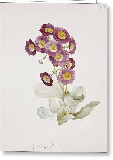 Botanicals Greeting Cards - Primula Auricula Primrose Greeting Card by Sarah Creswell