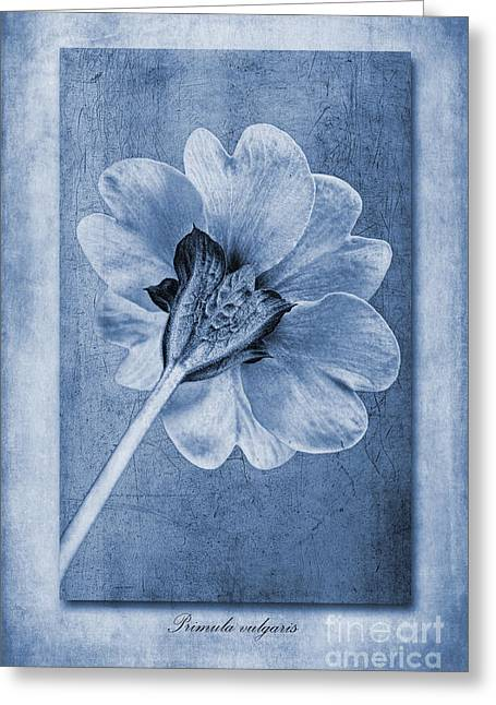 Textured Floral Greeting Cards - Primula vulgaris Cyanotype Greeting Card by John Edwards