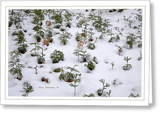 Moss Green Greeting Cards - Princess Pine Winter Snow Greeting Card by John Stephens