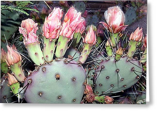 Thorny Desert Plant Greeting Cards - Prickly Pear Cactus Blooms Greeting Card by Selma Glunn