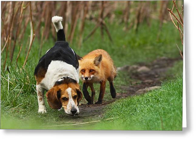 Fox Greeting Cards - Probably the Worlds Worst Hunting Dog Greeting Card by Mircea Costina Photography