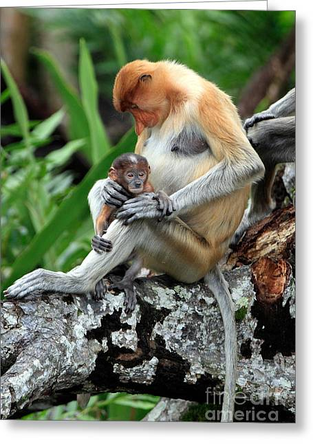 Tree Roots Greeting Cards - Proboscis Monkey And Baby Greeting Card by Sohns/Okapia