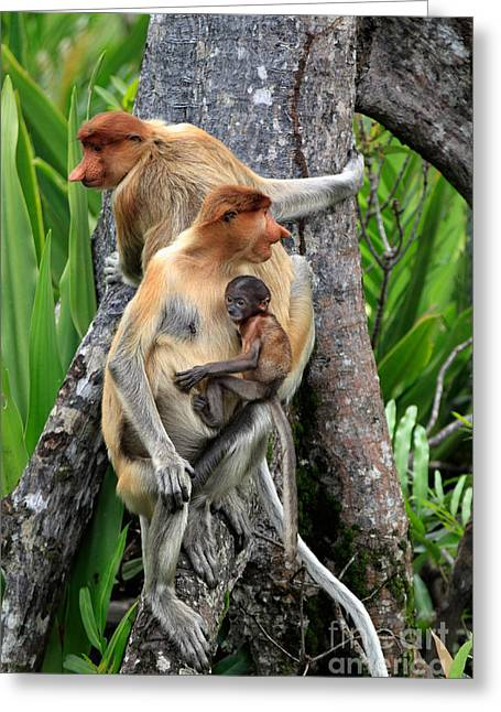Tree Roots Greeting Cards - Proboscis Monkeys Greeting Card by Sohns/Okapia