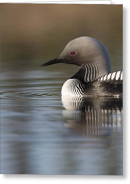 Profile Of A Pacific Loon Greeting Card by Tim Grams