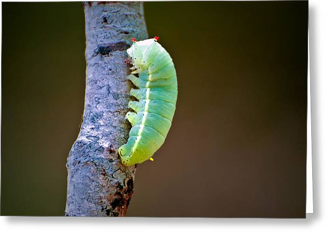 Promethea Moth Caterpillar Greeting Card by Rich Leighton