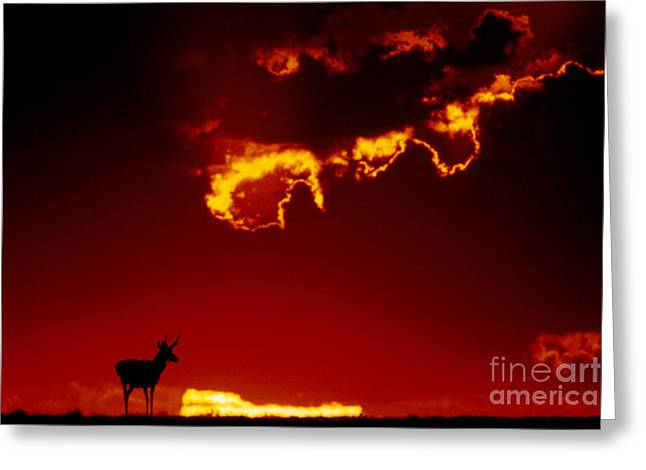 Mammalia Greeting Cards - Pronghorn Antelope In Sunset Greeting Card by Mark Newman
