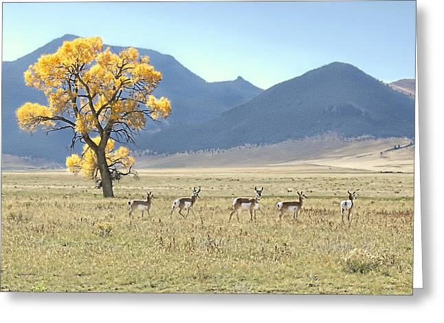 Pronghorn Greeting Cards - Pronghorn Antelope Montana Greeting Card by Jennie Marie Schell