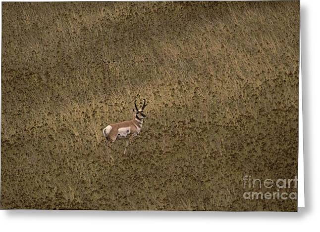 National Bison Range Greeting Cards - Pronghorn Buck Greeting Card by Ron Sanford