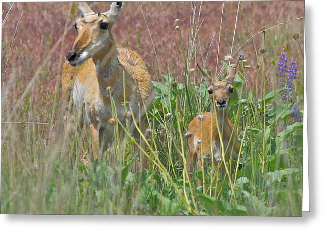 Pronghorn Doe and Fawn Greeting Card by Karon Melillo DeVega