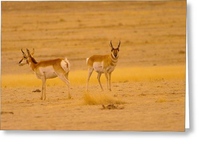 Pronghorn Greeting Cards - Pronghorns Greeting Card by Jeff  Swan