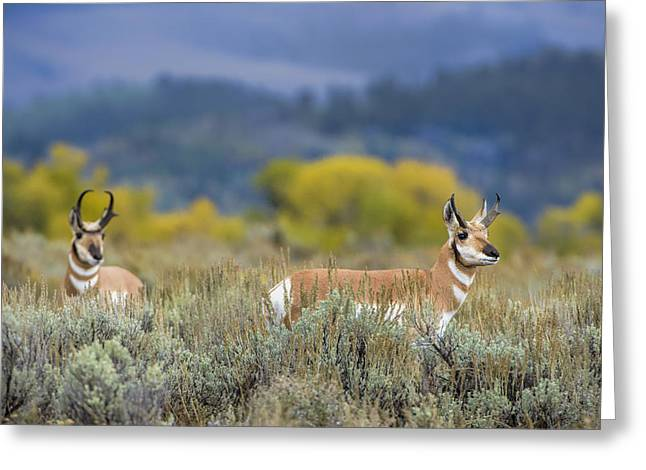 Pronghorn Greeting Cards - Pronghorns of the Teton Range Greeting Card by Paul W Sharpe Aka Wizard of Wonders