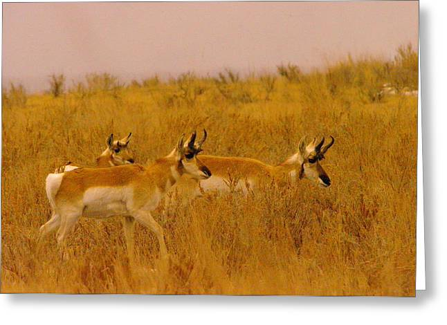 Pronghorn Greeting Cards - Pronghorns On The Move Greeting Card by Jeff  Swan