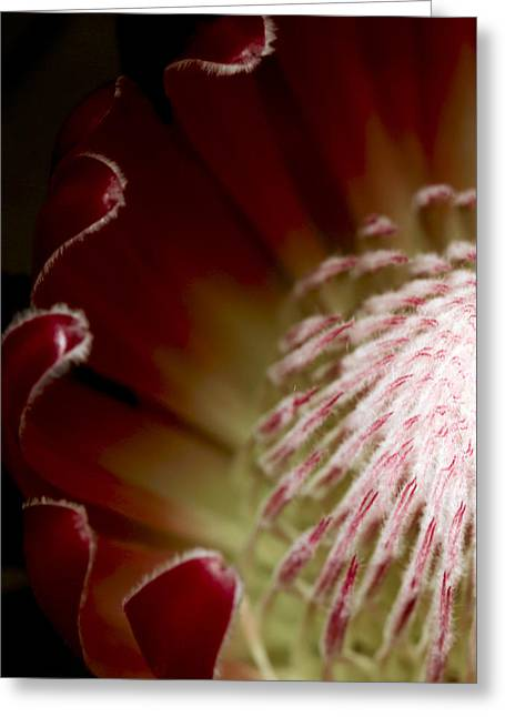 Proteas Greeting Cards - Protea Center 1  Left Greeting Card by Rebecca Cozart
