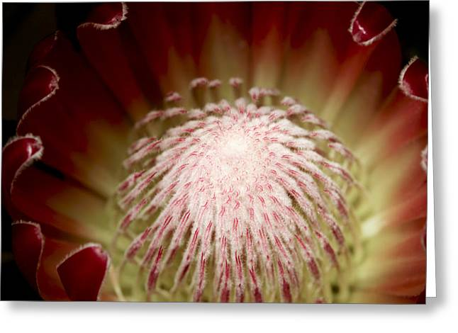 Proteas Greeting Cards - Protea  Center 1 Greeting Card by Rebecca Cozart