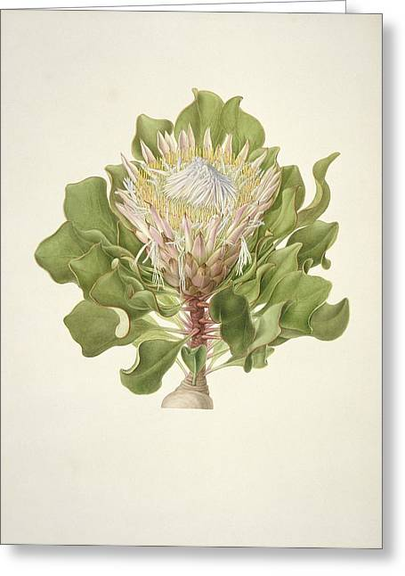Recently Sold -  - 18th Century Greeting Cards - Protea cynaroides, 18th century Greeting Card by Science Photo Library