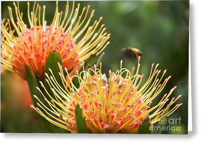 Pointy Petals Greeting Cards - Protea Flowers Attracting Bee  Greeting Card by Alexandra Jordankova