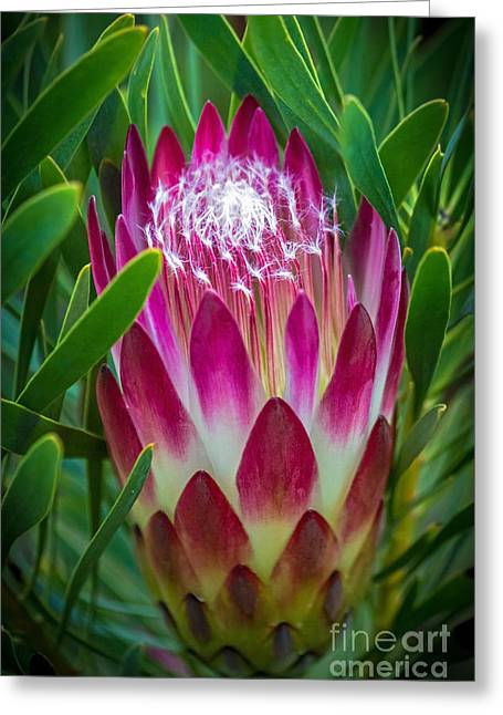 Kate Brown Greeting Cards - Protea in Pink Greeting Card by Kate Brown