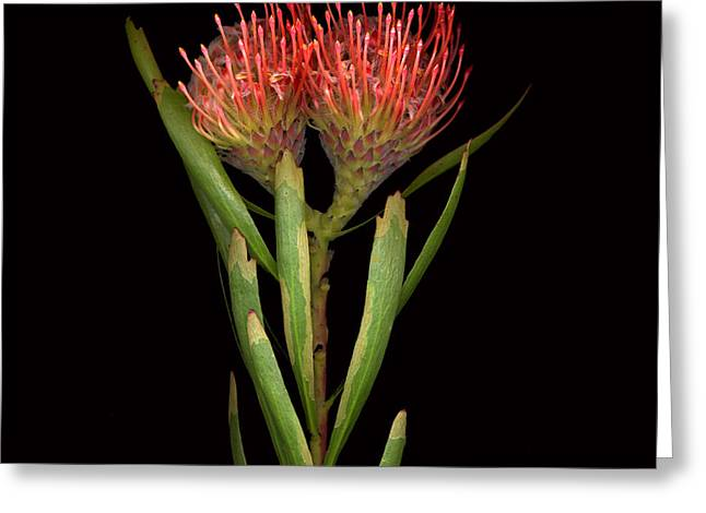 Botany Greeting Cards - Protea  Greeting Card by Jacqui Martin