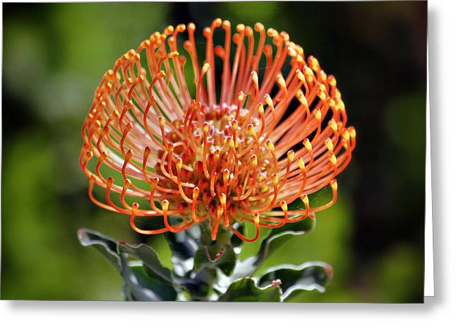 Cushion Greeting Cards - Protea - One of the Oldest Flowers on Earth Greeting Card by Christine Till