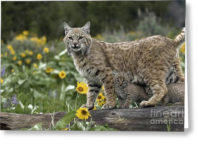 Bobcats Photographs Greeting Cards - Protection Greeting Card by Wildlife Fine Art