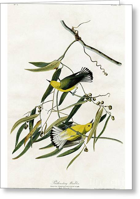 Zoology Paintings Greeting Cards - Prothonotary Warbler by John James Audubon Greeting Card by Pablo Romero