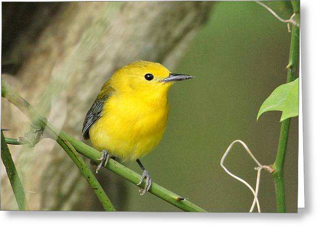 Warbler Greeting Cards - Prothonotary Warbler Close-up Greeting Card by Sandy Keeton