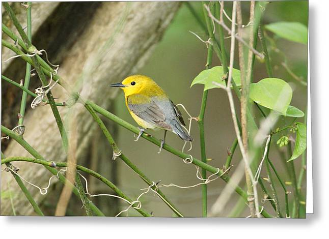 Warbler Greeting Cards - Prothonotary Warbler Greeting Card by Sandy Keeton