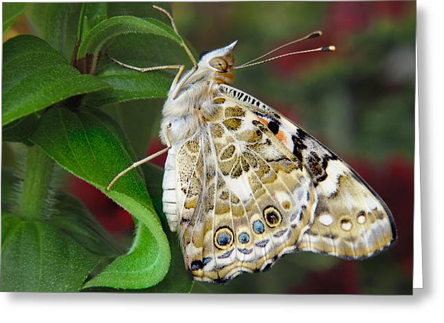 Painted Lady Greeting Cards - Proud Greeting Card by David and Carol Kelly