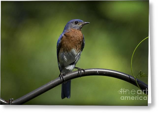 Amen Corner Greeting Cards - Proud Eastern Bluebird  Greeting Card by Cris Hayes