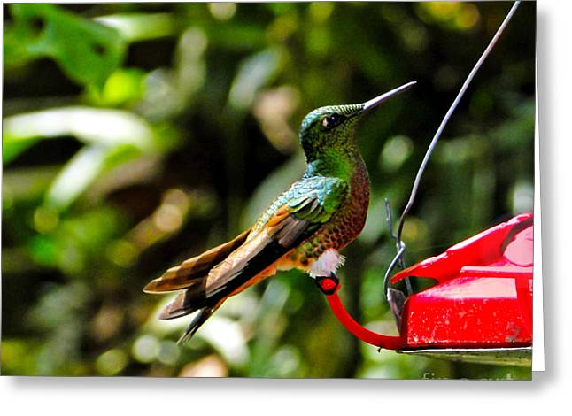 Hovering Greeting Cards - Proud Hummingbird Greeting Card by Al Bourassa