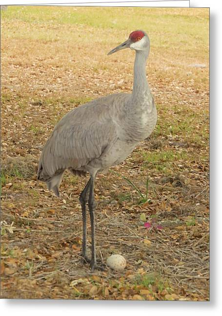 Sandhill Greeting Cards - Proud of first egg II Greeting Card by Zina Stromberg