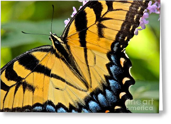 Greek Butterflies Greeting Cards - Proud Swallowtail Greeting Card by Eve Spring