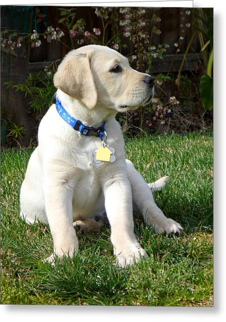 Doggie Photographs Greeting Cards - Proud Yellow Labrador Puppy Greeting Card by Irina Sztukowski
