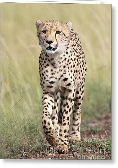 Cheetah Photographs Greeting Cards - Prowling Cheetah Greeting Card by Richard Garvey-Williams
