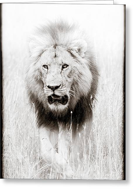 African Lion Art Greeting Cards - Prowling For Prey Greeting Card by Mike Gaudaur