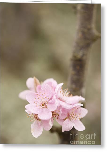 Close Focus Floral Greeting Cards - Prunus cerasifera Lindsayae Greeting Card by Anne Gilbert