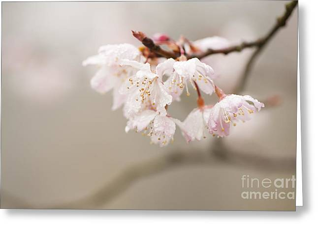 Close Focus Floral Greeting Cards - Prunus hirtipes Greeting Card by Anne Gilbert