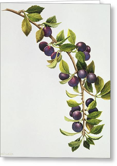 Grape Print Greeting Cards - Prunus Insititia Greeting Card by Sally Crosthwaite